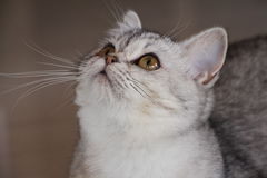 Burmilla猫 免版税库存图片