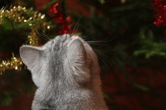 Burmilla猫 库存图片