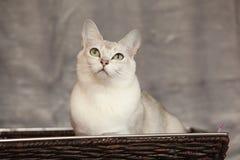 Burmilla que sorprende delante de la manta de plata Foto de archivo