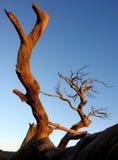 Burmis träd Royaltyfri Fotografi