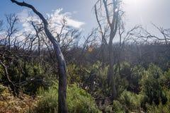 Burn down forest, La Gomera. Burn down forest with young bush growing, La Gomera, Canary islands stock photos