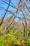 Burn down forest, La Gomera. Burn down forest with young bush growing, La Gomera, Canary islands royalty free stock images