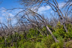 Burn down forest, La Gomera. Burn down forest with young bush growing, La Gomera, Canary islands stock image