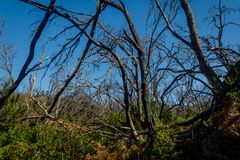 Burn down forest, La Gomera. Burn down forest with young bush growing, La Gomera, Canary islands stock photography
