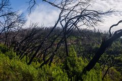 Burn down forest, La Gomera. Burn down forest with young bush growing, La Gomera, Canary islands royalty free stock photography