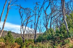 Burn down forest, La Gomera. Burn down forest with young bush growing, La Gomera, Canary islands stock images
