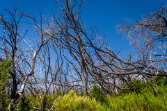 Burn down forest, La Gomera. Burn down forest with young bush growing, La Gomera, Canary islands royalty free stock photo