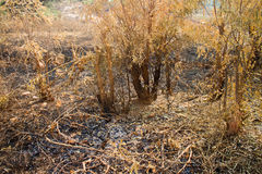 Burn with fire ground in wild. Dry plants on a black ground stock photo