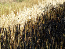 Burn rice field Royalty Free Stock Images