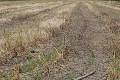 Burn rice field after harvest Stock Photography