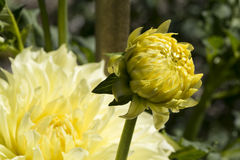 Burnbankgeheugen - Gele Dahlia Flowers Royalty-vrije Stock Foto