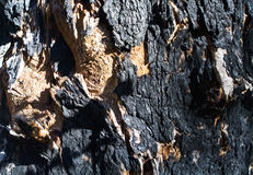 Burned bark of tree. After bushfire in Western Australia Stock Photo