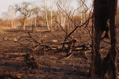 Burned birch forest Royalty Free Stock Images
