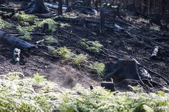 Burned black stumps and green ferns in sunlight after forest fire stock image