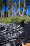 Burned charred redwood trunk in Yosemite. Mariposa grove California royalty free stock images