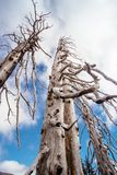Burned dead conifer trees with hollow branches in beautiful old forest after devastating wildfire. With beautiful blue sky, camera pointing upwards stock photo