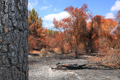 Burned down forest Stock Images