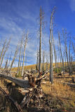 The burned down wood in Yellowstone park Stock Photo