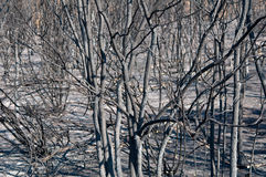 Burned forest Stock Images