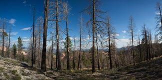 Burned forest in Bryce Canyon National Park Stock Image