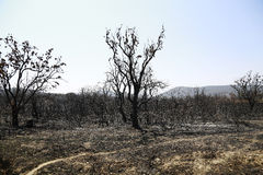 Burned forest. Dead forest after a fire has passed through Stock Photos