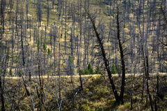 Burned Forest Fire Tree Trunks Black Green Royalty Free Stock Photo