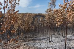 Burned forest in Portugal. forest. Burned forest in Portugal. Burned forest royalty free stock images