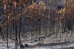 Burned forest in Portugal. forest. Burned forest in Portugal. Burned forest royalty free stock image