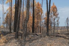 Burned forest in Portugal. Burned forest. Forest in portugal royalty free stock images