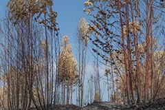 Burned forest in Portugal. forest Burned forest. Burned forest in Portugal. Burned forest royalty free stock photo