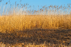 Burned grass in Vacaresti delta from Bucharest. In sunshine light Stock Photos