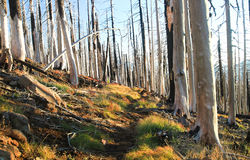 Burned Pine Forest on the Pacific Crest Trail, Oregon, USA. This section of pine forest near Three Fingered Jack on the Pacific Crest Trail in central Oregon was Royalty Free Stock Photo