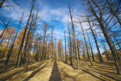 Burned Pine Forest Stock Photos