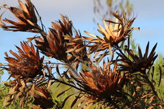 Burned proteas Stock Images