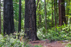 Burned Redwood Trees Royalty Free Stock Photo