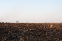 Burned savannah. African savannah after fire at dusk Royalty Free Stock Photography