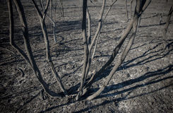 Burned shrubs and scorched earth. After fire blaze detail Stock Photos