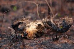 Burned skull Royalty Free Stock Image