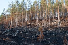 Burned Taiga Forest in Autumn Finland Stock Images