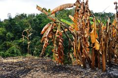Burned tree banana on the moutain. Royalty Free Stock Photo