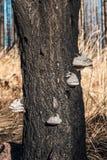 Burned tree bole Royalty Free Stock Images