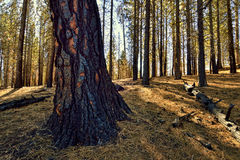 Burned Tree, Lassen Volcanic National Park Stock Photography