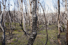 Burned tree in national park in Chile. Close up of burned tree after forest fire in national park in Chile Stock Photo