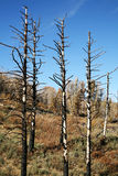 Burned Trees. In the wilderness with brown brush.  Regrowth from a forest fire Royalty Free Stock Photo