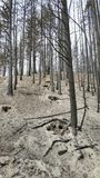 Burned trees and ash. Burned trees from a wildfire and an ash covered forest floor.  Okanogan Complex wildfires summer of 2015.  These were the biggest wildfires Stock Photos