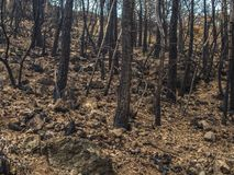 Burned trees after a fire in the natural park delk garraf, in Castelldefels, Barcelona Royalty Free Stock Photo