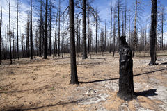 Burned Trees - Forest Fire Royalty Free Stock Photos