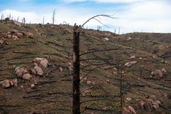 Burned trees from forest fire royalty free stock photography