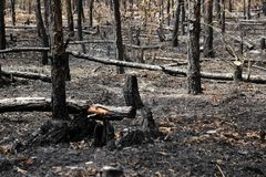 Burned trees in forest. In Poland near Czarnkow, Wielkopolska district. Young trees about fourteen years old must be cutted Stock Photography