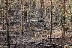 Burned trees in forest royalty free stock images